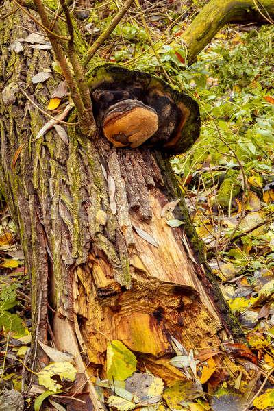 autumn mushroom Stock photo © artush