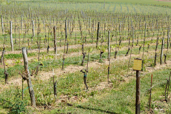 Spring Vineyard Stock photo © artush
