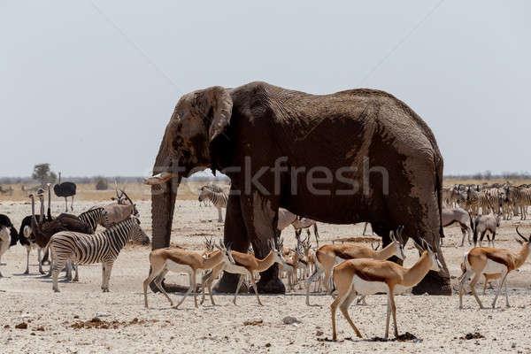 Stok fotoğraf: Hayvan · çamurlu · Afrika · filler · içme · diğer
