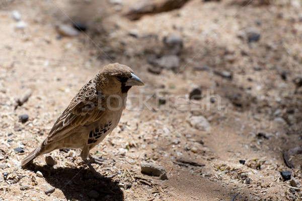 Sociable Weaver Bird at Kgalagadi Stock photo © artush