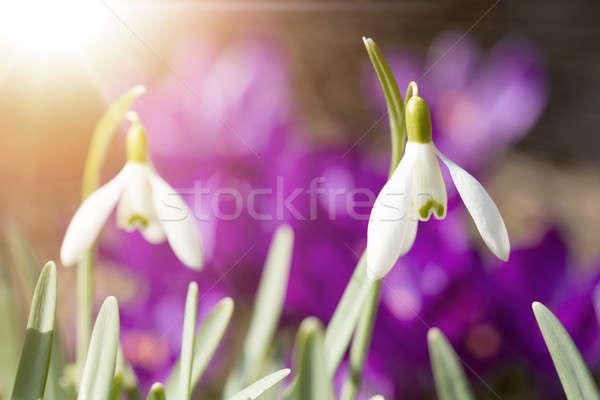 咲く 春 日光 最初 花 春 ストックフォト © artush
