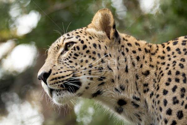 head shot of Persian leopard Stock photo © artush