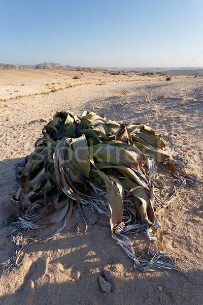 Foto d'archivio: Incredibile · deserto · impianto · esempio · più · anni