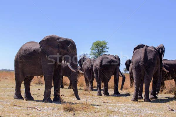 heard of african elephants Stock photo © artush