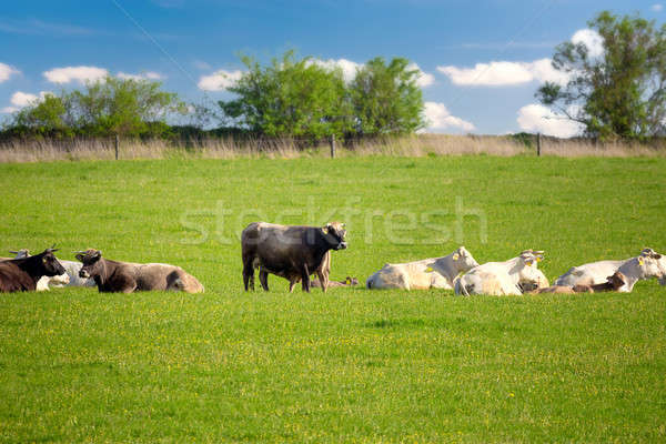 Herd of cows at spring green field Stock photo © artush