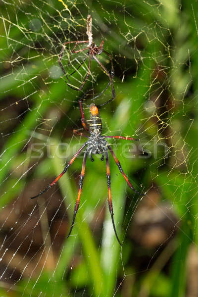 Golden silk orb-weaver on net Madagascar Stock photo © artush