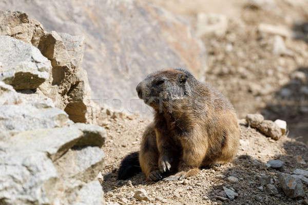 alpine marmot (Marmota marmota latirostris) on the rock Stock photo © artush