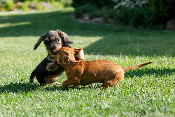 small dogs dachshund plays in garden Stock photo © artush