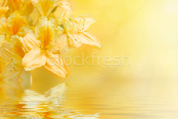 yellow rhododendron azalea with shallow focus and water reflection Stock photo © artush
