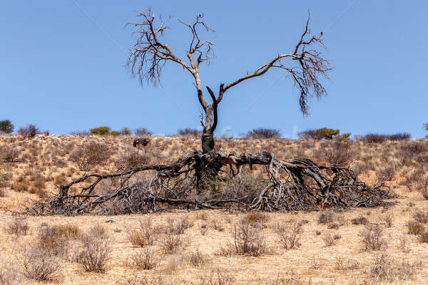 Lonely dead tree in an arid landscape Stock photo © artush