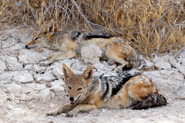 two black-backed jackal (Canis mesomelas) lying in Etosha park Stock photo © artush