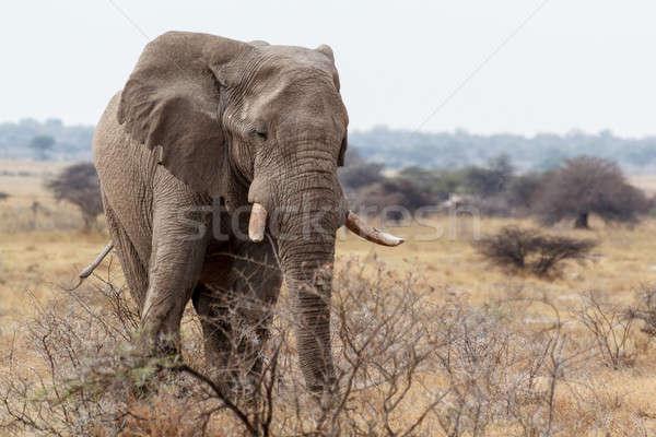 Stok fotoğraf: Büyük · Afrika · filler · park · portre · Namibya