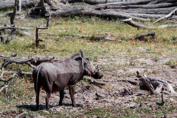 Afrikai vadvilág park Botswana fotózás természet Stock fotó © artush