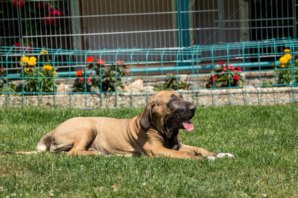 puppy of Fila Brasileiro (Brazilian Mastiff) Stock photo © artush