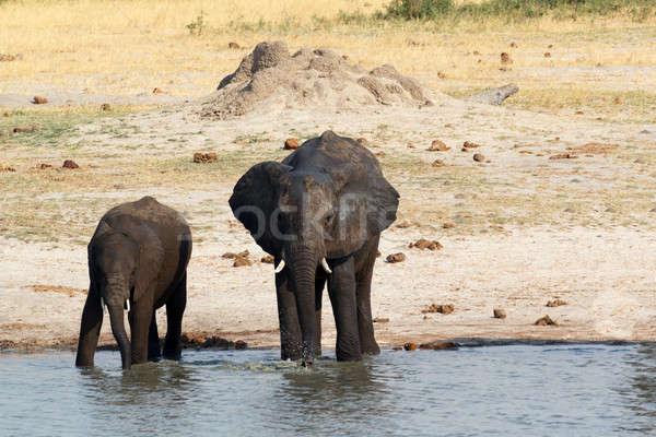 Afrikai elefántok iszik sáros park Botswana Stock fotó © artush