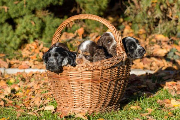 English Cocker Spaniel puppy in basket Stock photo © artush