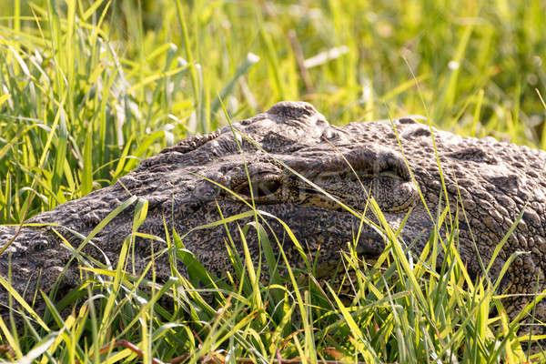 Portré krokodil park Botswana szem zöld Stock fotó © artush