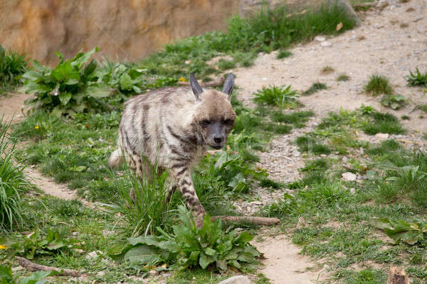 Striped hyena (Hyaena hyaena) Stock photo © artush