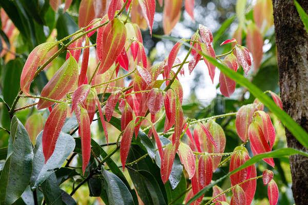 Cinnamon Tree - Cinnamomum zeylanicum Stock photo © artush