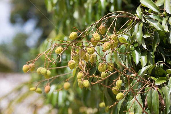 Unripe exotic fruit Lychee, madagascar Stock photo © artush