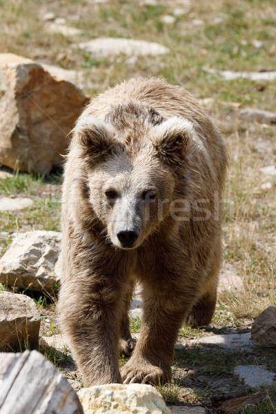 Orso bruno rosso orso confusi natura estate Foto d'archivio © artush