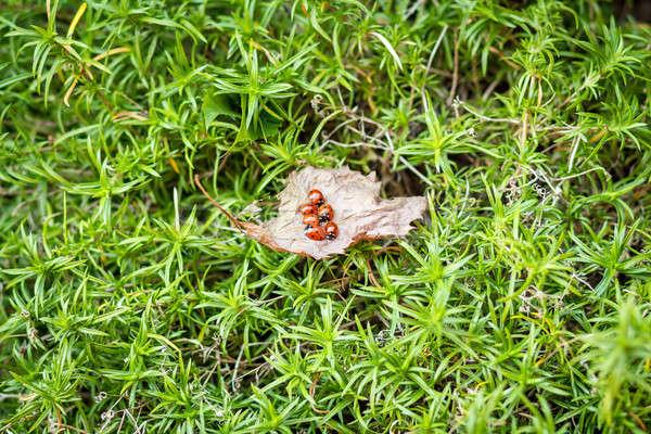 ladybugs on a dry leaf Stock photo © artush