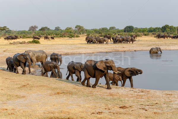 several heard of African elephants at waterhole Stock photo © artush