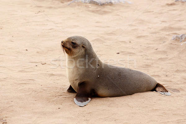 Small sea lion - Brown fur seal in Cape Cross, Namibia Stock photo © artush