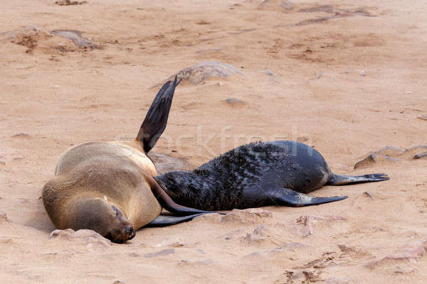 Stock photo: Small sea lion - Brown fur seal in Cape Cross, Namibia