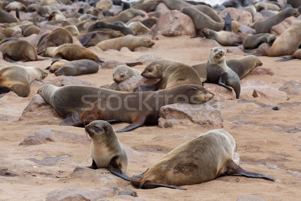 Hatalmas gyarmat barna szőr fóka tenger Stock fotó © artush