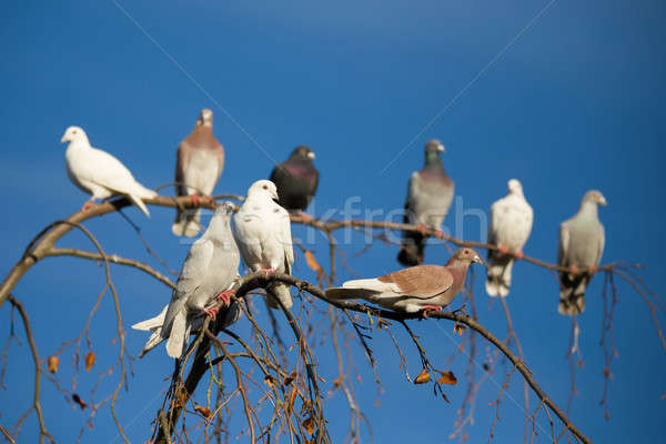 pigeons sitting on the branch Stock photo © artush