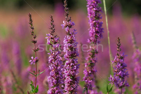 Tall pink  flowers in summer meadow Stock photo © artush