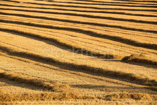 harvested field with straw lines Stock photo © artush