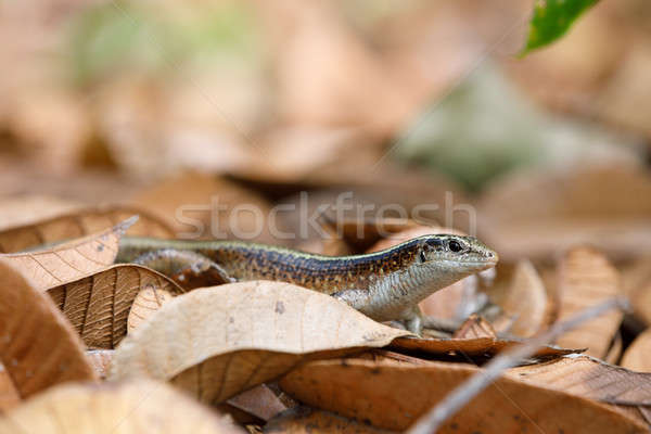 Madagascar girdled lizard (Zonosaurus madagascariensis) Stock photo © artush