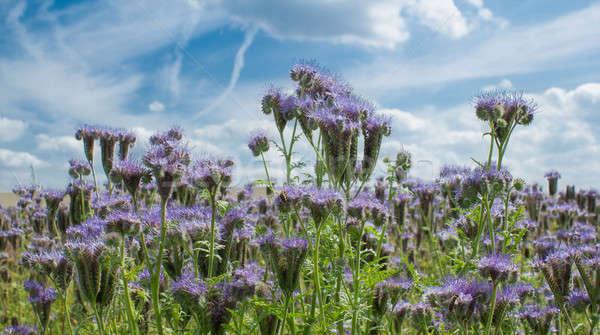 Hdr natuurlijke zomer landschap paars bloem Stockfoto © artush