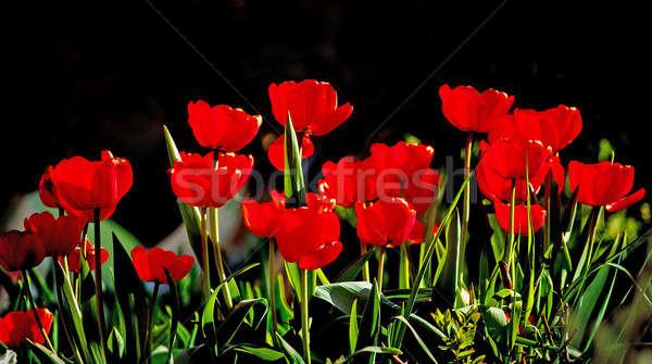 Beautiful red tulips against dark backgroung Stock photo © artush