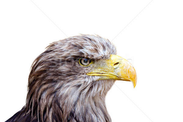 isolated Big Sea Eagle (Haliaeetus albicill) looking ahead Stock photo © artush