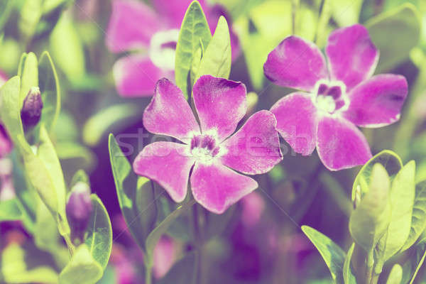 violet flowers background or backdrop Stock photo © artush