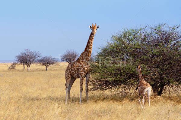 Stock fotó: Felnőtt · női · zsiráf · fa · park · Namíbia