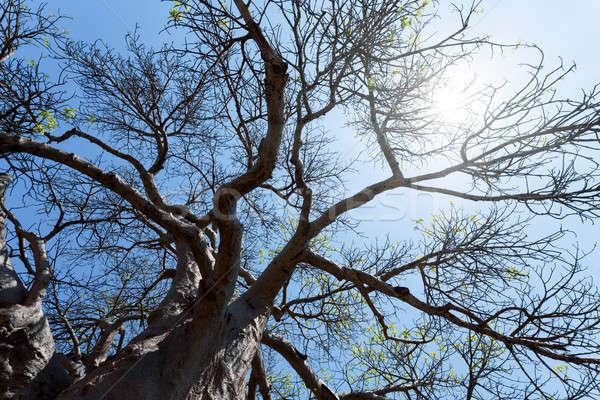 majestic baobab tree Stock photo © artush