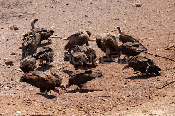 flock of White backed vulture Stock photo © artush