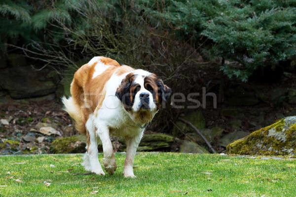 Portrait of a nice St. Bernard dog Stock photo © artush