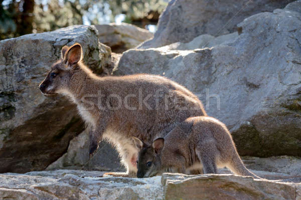 Closeup of a Red-necked Wallaby baby with mother Stock photo © artush