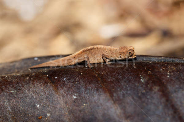 Pici vulkán Madagaszkár világ kíváncsi vadvilág Stock fotó © artush