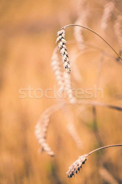 органический весны зерновых зерна пшеницы подробность Сток-фото © artush
