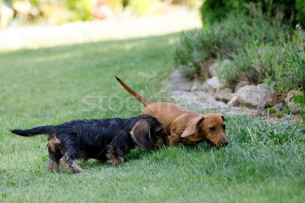 Stock fotó: Kicsi · kutyák · tacskó · kert · aranyos · női