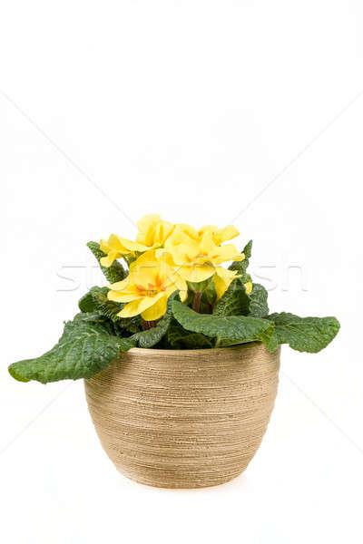 yellow flower primrose in pot Stock photo © artush
