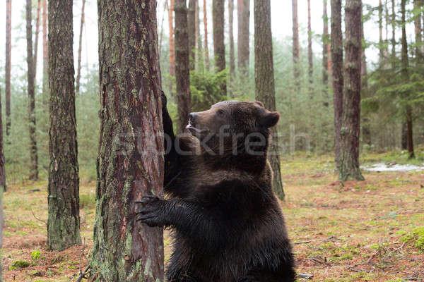 Bruine beer winter bos groot mannelijke permanente Stockfoto © artush