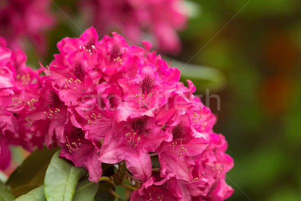 Pink azaleas blooms with small evergreen leaves Stock photo © artush