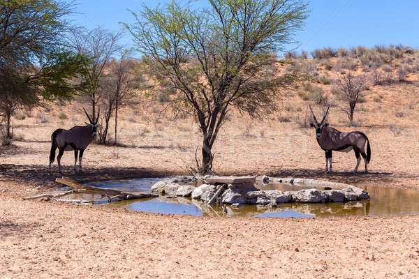 Park South Africa drinken water gat natuur Stockfoto © artush